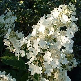 Hydrangea paniculata 'Mount Everest' - Find Azleas,Camellias,Hydrangea and Rhododendrons at Loder Plants